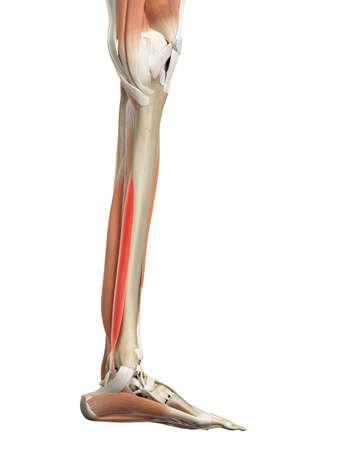 flexor: medically accurate illustration of the flexor digitorum longus