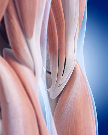 anatomy knee: medically accurate illustration of the posterior knee anatomy Stock Photo