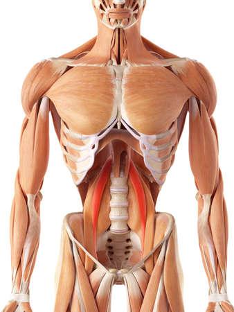 hombres musculosos: ilustración médica precisa del psoas menor