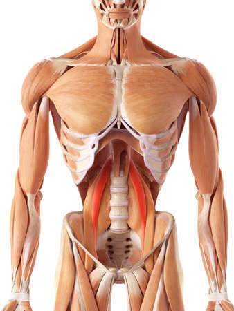 muscular anatomy: medically accurate illustration of the psoas minor Stock Photo