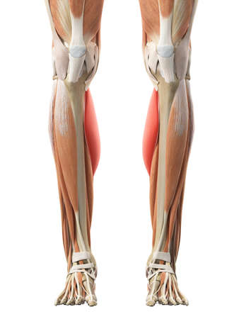 gastrocnemius: medically accurate illustration of the gastrocnemius medial head