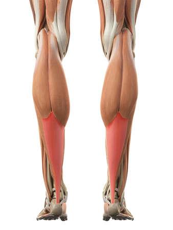 illustration médicalement précis du tendon d'Achille