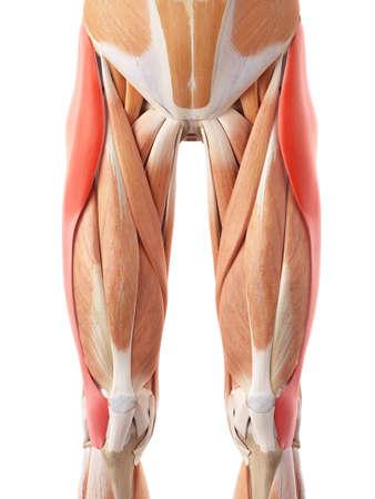 テンソル大腿筋膜の医学的に正確な図