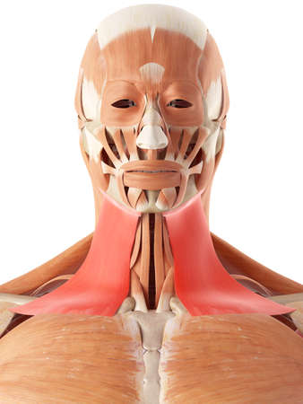 muscle: medically accurate illustration of the platysma