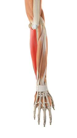 flexor: medically accurate illustration of the flexor carpi ulnaris