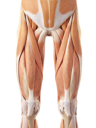 anterior: medically accurate illustration of the anterior leg muscles