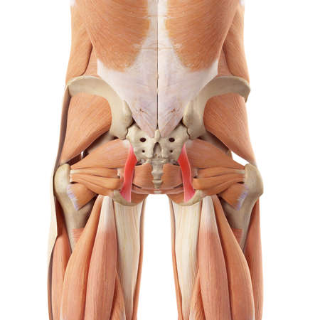 ligament: medically accurate illustration of the sacrotuberous ligament Stock Photo