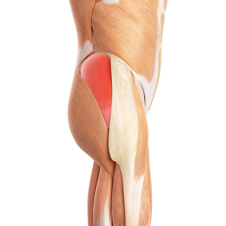 medical: medically accurate illustration of the gluteus medius Stock Photo