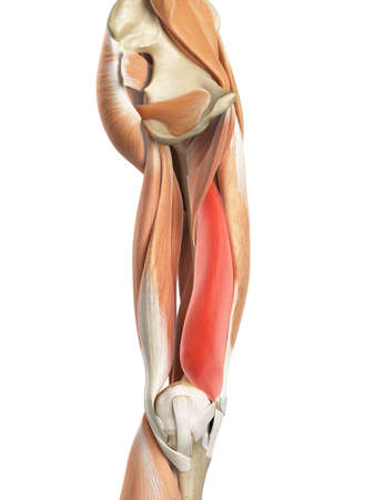 upper: medically accurate illustration of the vastus medialis