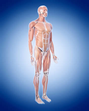 full  body: medically accurate illustration of the muscle system Stock Photo