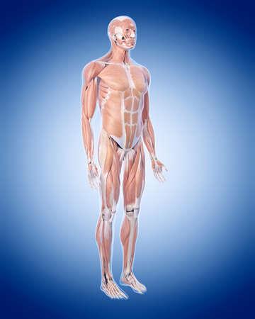 medisch nauwkeurige illustratie van de spier-systeem
