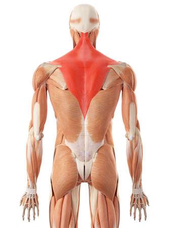 illustration médicale précise de la trapezius