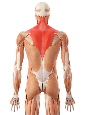 medically accurate illustration of the trapezius Stock Photo