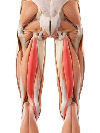 thighs: medically accurate illustration of the semitendinosus