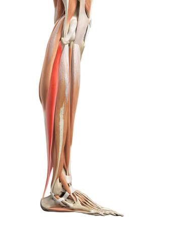 soleus: medically accurate illustration of the soleus Stock Photo