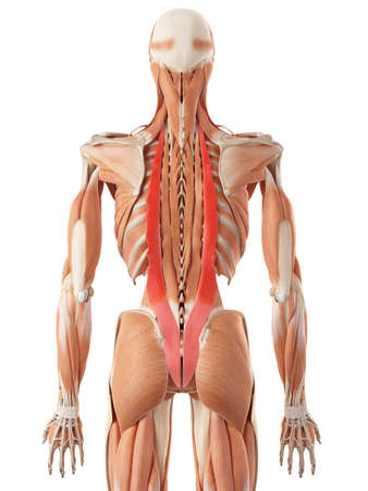 anatomie humaine: illustration médicale précise des iliocostal