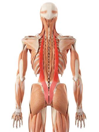 anatomia humana: ilustración médica precisa de los iliocostal