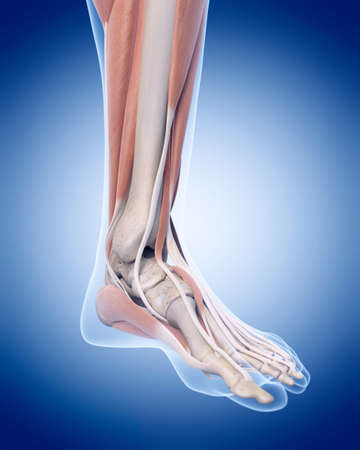 male feet: medically accurate illustration of the foot muscles