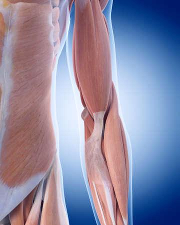 codo: ilustración médica precisa de la anatomía del codo Foto de archivo