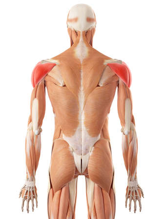deltoid: medically accurate illustration of the deltoid muscle Stock Photo