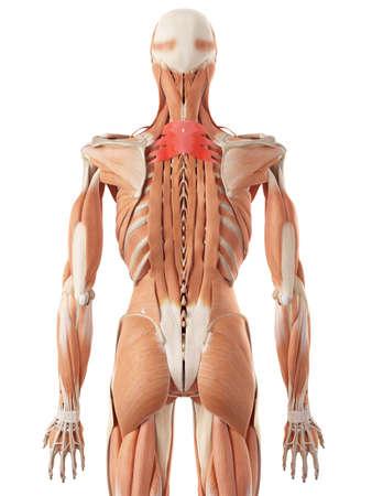 superior: medically accurate illustration of the serratus posterior superior