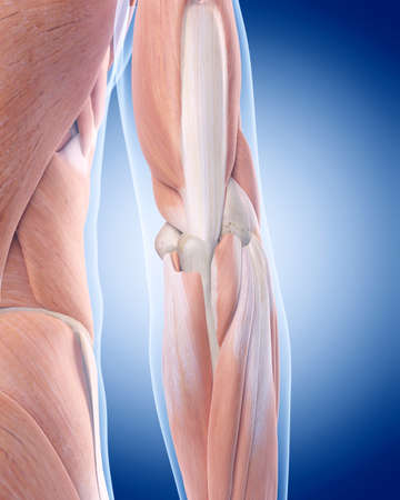 elbow: medically accurate illustration of the elbow anatomy Stock Photo