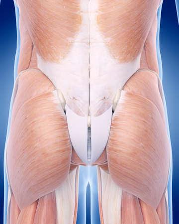 muscle: ilustración médica precisa del músculo glúteo