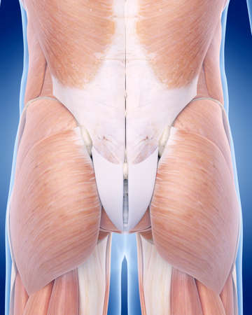 back of leg: medically accurate illustration of the gluteus muscle