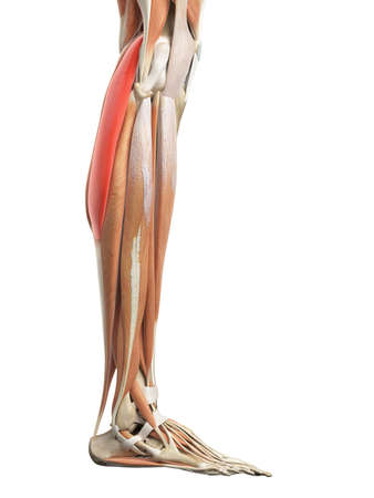 gastrocnemius: medically accurate illustration of the gastrocnemius