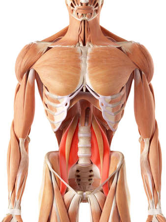 medically accurate illustration of the psoas major Stock Photo