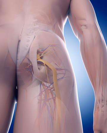 nervios: ilustración médica precisa del nervio ciático Foto de archivo