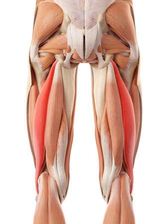 illustration médicale exacte du biceps fémoral longus