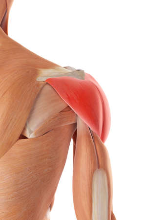 medically accurate illustration of the deltoid muscle Stock Photo