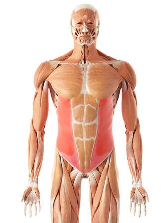 illustration médicale précise de l'oblique exernal