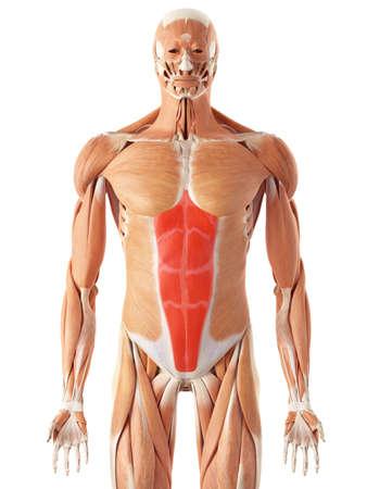 rectus: medically accurate illustration of the rectus abdominis Stock Photo