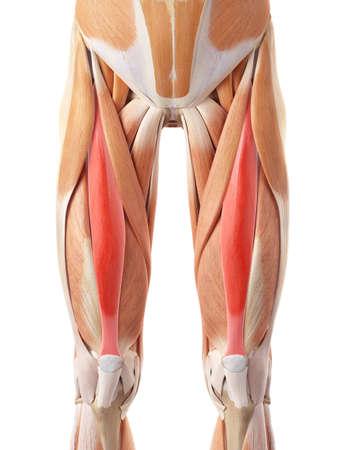 illustration médicale précise des rectus femoris