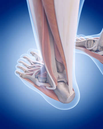 tendon: medically accurate illustration of the achilles tendon