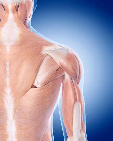 anatomia: ilustración médica precisa de los músculos del hombro posterior Foto de archivo