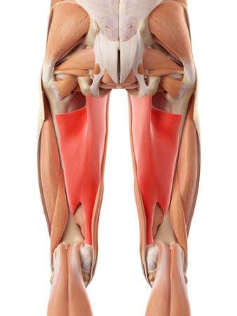 piernas hombre: ilustración médica precisa de los aductor