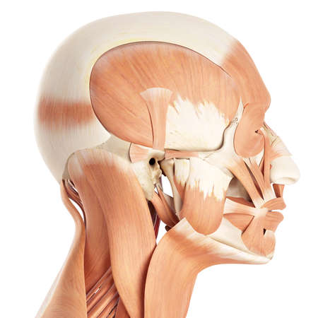 facial muscles: medically accurate illustration of the facial muscles Stock Photo