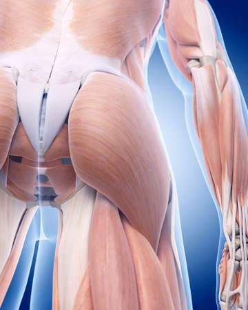 ilium: medically accurate illustration of the gluteus muscle