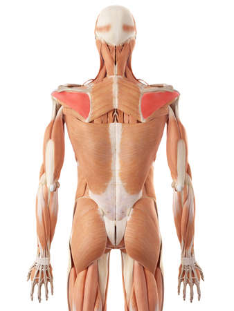 infraspinatus: medically accurate illustration of the infraspinatus