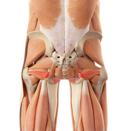 hip: medically accurate illustration of the obturator internus Stock Photo