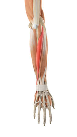 extensor: medically accurate illustration of the extensor carpi ulnaris