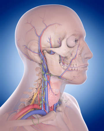 carotid artery: medically accurate illustration of the neck anatomy