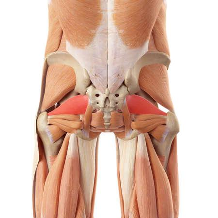 illustration médicale précise des piriforme