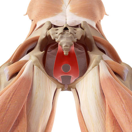 pelvis: medically accurate illustration of the levator ani Stock Photo