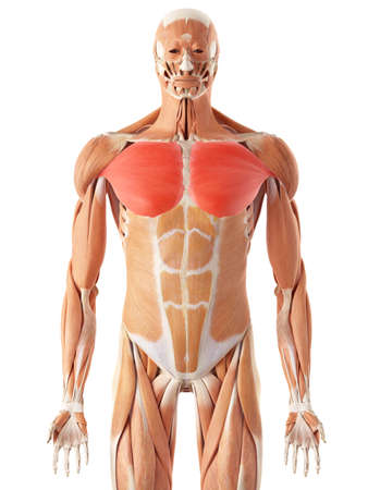 health and fitness: medically accurate illustration of the pectoralis major