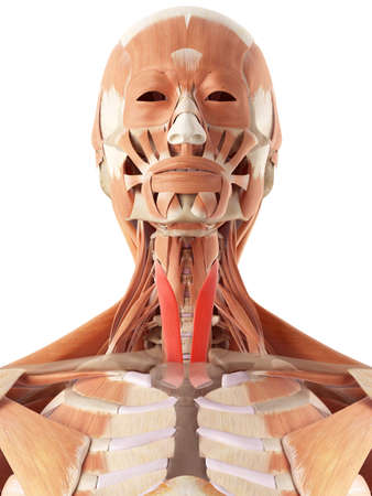 face illustration: medically accurate illustration of the sternothyroid