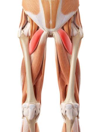 pelvis: medically accurate illustration of the pectineus Stock Photo